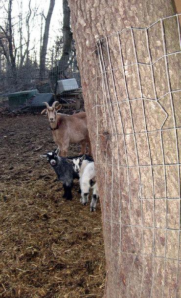 Goatspeeking