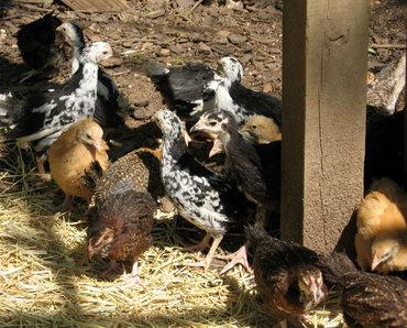 Littlechickens2