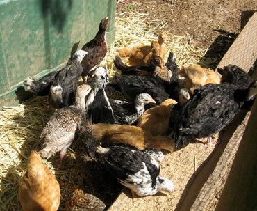 Littlechickens5