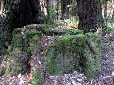 Redwoods14