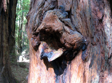 Redwoods17