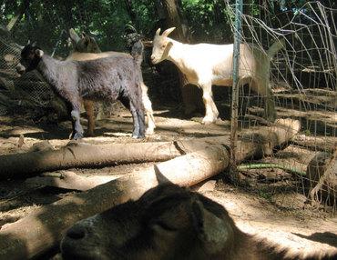 Goats1608