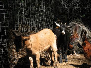 Goats5608