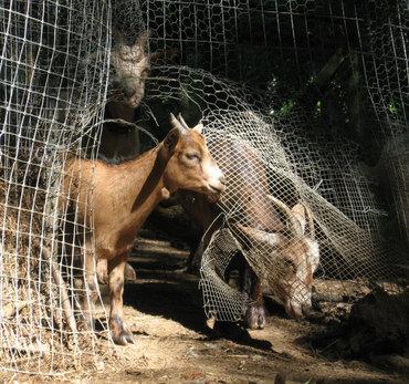 Goats7608