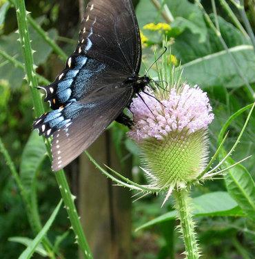 Blacknbluebutterfly2