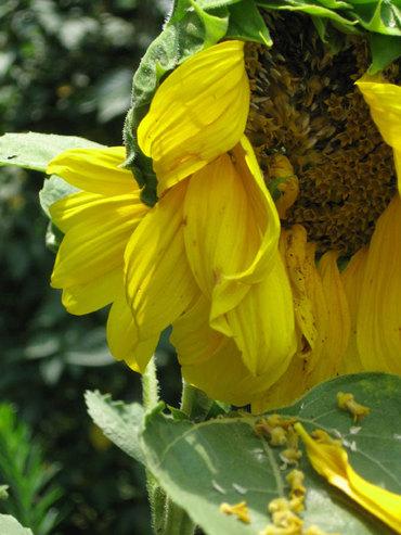 Droopysunflower