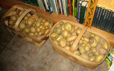 Potatoharvest